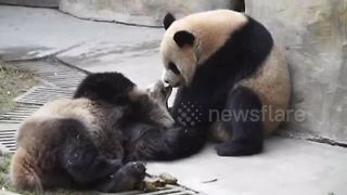 Giant panda siblings can't stop 'French kissing' - Video