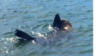 Seal Spotted in Sydney's Rushcutters Bay - Video