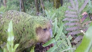 CUTE! Meet the Kakapo, world's only flightless parrot and heaviest parrot in the world - ABC15 Digital - Video