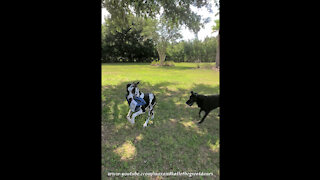 Great Danes Have Fun Playing Pass The Package Zoomie Games