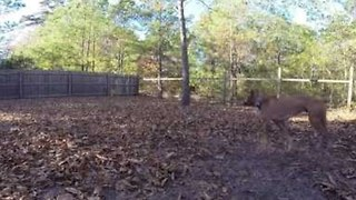 Energetic Boxer Dog Has Epic Ball Catching Fail