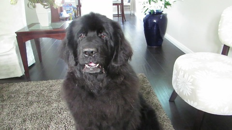 Giant Newfoundland dog reluctantly performs roll-over trick