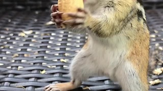Adorable Chipmunk Skillfully Packs Peanuts In Its Mouth - Video