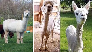 Looking trim – Alpaca stick thin after shearing - Video