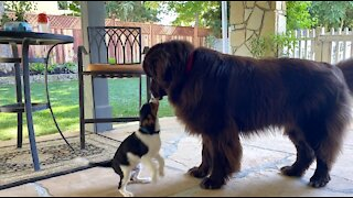 Newfoundland and Cavalier Spaniel puppy adorably play together