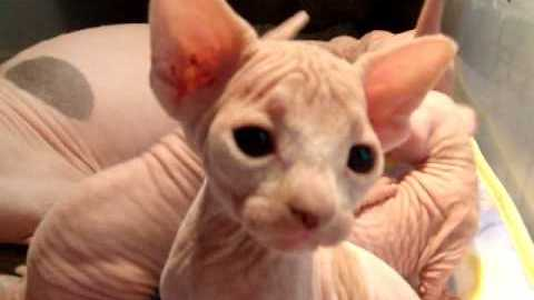 Cute Hairless Kitties Crowd Around Their Mom