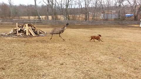An Unlikely Friendship Between A Dog And An Emu