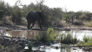 Elephant chases lions from waterhole - Video