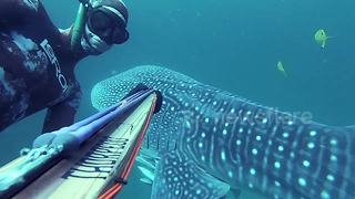 Diver 'dances' with whale shark by hanging onto its fin - Video