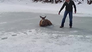 Three Men Rescue What They Thought Was A Deer Decoy From Frozen Lake - Video