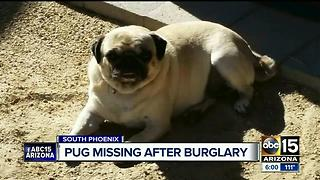 Thief breaks into Phoenix home, takes family's pug - Video