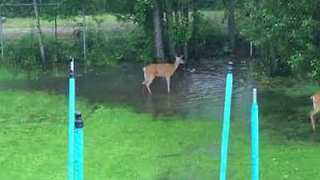 Three Deer Seen Playing in a Backyard Puddle in Ontario, Canada - Video