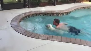Playful West Highland Terrier Does A Cannonball Into Pool - Video