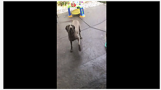 Over Excited Dog Spins In Circles While Waiting For Her Meal
