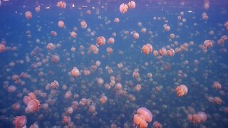 UNDER THE SEA – AMAZING PHOTOS OF DIVER TACKLING INFAMOUS JELLY FISH LAKE