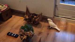Rowdy Cockatoo Rampages Around Her Home