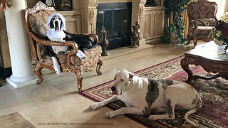 Happy Pilgrim Great Danes Get Ready for Thanksgiving - Video