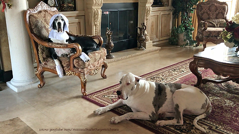 Happy Pilgrim Great Danes Get Ready for Thanksgiving *
