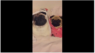 Pug blends in perfectly with pug-faced pillows - Video