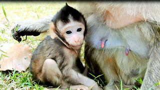 Tito Is Cute Baby Monkey At Angkor Wat Temple  - Video