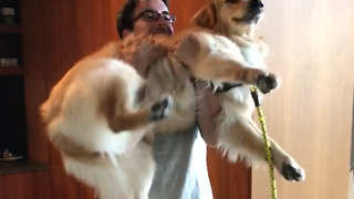 This golden retriever puppy makes for great bicep curls  - Video