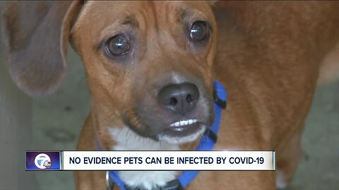 No evidence pets can be infected by COVID-19