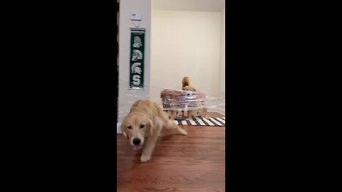 Golden Retriever Conquers Invisible Challenge With Ease