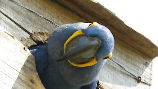 Macaw watches humans from artificial nest in the wild