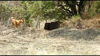 Brave Dog Stops Elephant From Entering Indian Village - Video