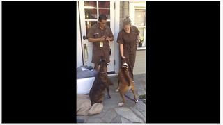 Boxer Loves It When UPS Delivery Driver Arrives - Video