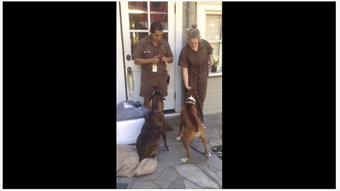 Boxer Loves It When UPS Delivery Driver Arrives