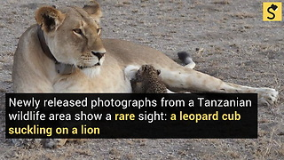 Lion Spotted Nursing Leopard Cub in Rare Act of Cross-Species Care - Video
