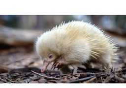 Rare Albino Echidna Spotted in Tasmanian National Park - Video