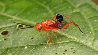 Ensign Wasp waves its abdomen like a flag - Video