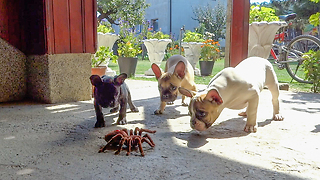 French Bulldog puppies take on robot spider - Video