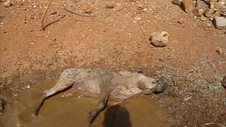 Young rescued warthog enjoys a mudbath - Video