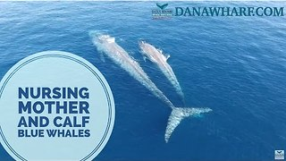 Drone Captures Blue Whale Nursing Calf - Video