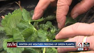 Late-hitting frost hits Lawrence strawberry farm - Video