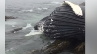 Humpback Whale Carcass Found Washed Up at Rhode Island Beach - Video