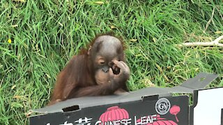 Orangutan baby adorably plays with an empty cardboard box