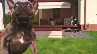 French Bulldog Leaps to Catch Drone; Narrowly Misses It