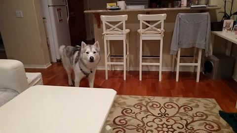Vocal husky always gets the last word