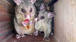 Possum Mama and Her Baby Squabble Over Fruit - Video