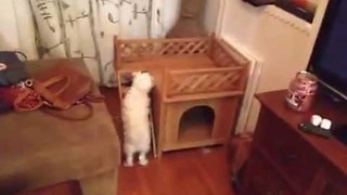 Pup Does Not Quite Understand Stairs - Video