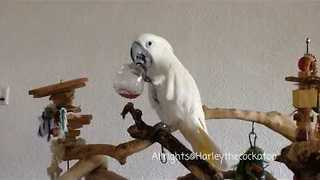 Harley the Cockatoo Drinks Patiently From a Glass - Video