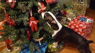 Boston Terrier can't refrain from attacking tree