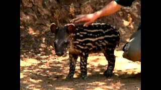 Safari Park Welcomes Newborn Baby Tapir - Video