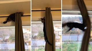 Cat tries to climb curtains and fails - Video