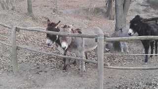 Clever Donkeys Use Teamwork to Overcome Barrier - Video