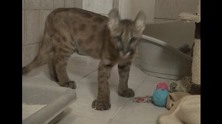 Puma Cub Rescued From Bathroom in Germany
